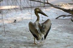 Серый далматинский пеликан Стоковое фото RF