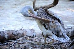 Серый далматинский пеликан Стоковая Фотография RF