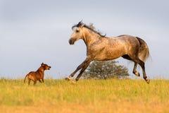 Серый бег лошади Стоковое фото RF
