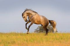 Серый бег лошади Стоковые Фотографии RF
