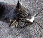 Серый бездомный кот стоковые фотографии rf
