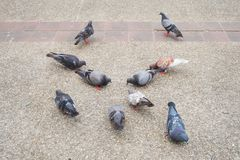 Серый, белый, Брайн и черные голубь или голубь Columba Livia стоит и съешьте на поле в городе, предпосылке птицы стоковое фото
