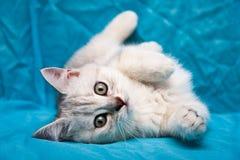 Серый белый великобританский котенок лежа на своей стороне с его передними ногами tucked стоковая фотография