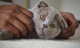 Серый будучи Petted котенок створки Scottish стоковое фото rf