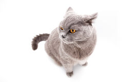 Серый великобританский изолированный кот Стоковая Фотография