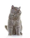 Серый великобританский длинный котенок волос Стоковая Фотография RF