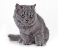Серый великобританский длинный котенок волос Стоковые Фото