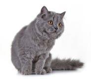 Серый великобританский длинный котенок волос Стоковые Фотографии RF
