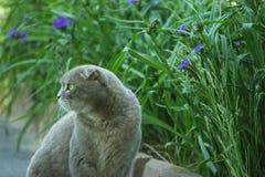 Серый великобританский кот сидя около зеленой лужайки стоковая фотография