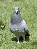 серый вихрун Стоковые Фото
