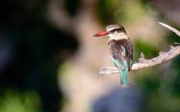 Серый возглавленный Kingfisher в покое Стоковая Фотография RF