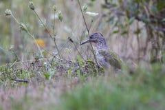 серый возглавленный woodpecker Стоковые Фото