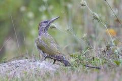 серый возглавленный woodpecker Стоковое фото RF