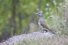 серый возглавленный woodpecker Стоковая Фотография RF