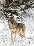 Серый волк, волчанка волка, стоящ к камере, смотря правый, в изображении снежного леса зимы вертикальном стоковая фотография rf