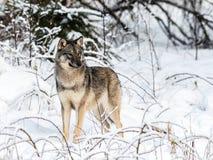 Серый волк, волчанка волка, стоящ к камере, смотря правый, в снежном лесе зимы стоковое изображение rf