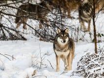 Серый волк, волчанка волка, стоя в снежном лесе зимы остальнои пакета волка на заднем плане за деревьями Стоковое Изображение