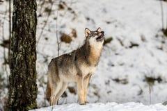 Серый волк, волчанка волка, стоя в снежном лесе зимы, с носом указывая вверх стоковая фотография rf