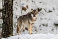 Серый волк, волчанка волка, стоя в снежном лесе зимы стоковые изображения