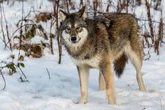 Серый волк, волчанка волка, стоя в снежном лесе зимы Стоковые Фотографии RF