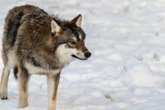 Серый волк, волчанка волка, стоя в снежном лесе зимы Стоковое фото RF