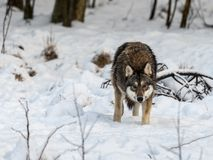 Серый волк, волчанка волка, стоя смотрящ к камере, в снежном лесе зимы стоковые фотографии rf