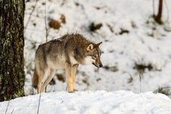 Серый волк, волчанка волка, стоя со своим головным низким уровнем, в снежном лесе зимы стоковые фотографии rf