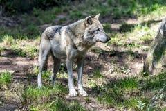 Серый волк в волчанке природы Стоковое Изображение
