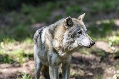 Серый волк в волчанке природы Стоковые Фото