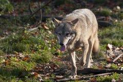 Серый волк в пуще Стоковая Фотография