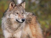 Серый волк в установке осени Стоковое фото RF