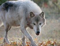Серый волк в установке осени Стоковая Фотография
