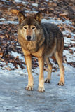 серый волк зимы Стоковая Фотография RF