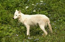 серый волк лужка Стоковая Фотография RF