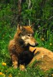 серый волк щенка мати Стоковые Фотографии RF