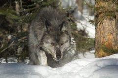 серый волк стоковая фотография
