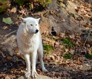 Серый волк Стоковое Фото