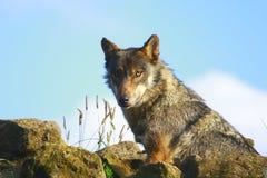 серый волк Стоковые Фото