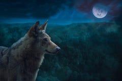 Серый волк альфы во время ночи полнолуния в глуши Стоковые Фотографии RF