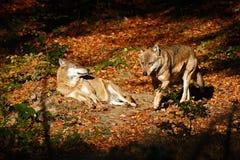 Серый волк, волчанка волка, в оранжевых листьях 2 wolfs в животном леса осени оранжевом в среду обитания природы Сцена живой прир Стоковые Изображения RF