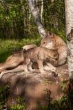 Серый волк (волчанка волка) лежит на утесе с лапкой над щенком Стоковое Фото