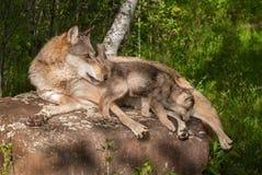 Серый волк (волчанка волка) и щенок на утесе смотря правый Стоковые Фотографии RF