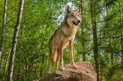 Серый волк (волчанка волка) на утесе смотрит вверх Стоковая Фотография