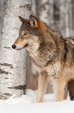 Серый волк (волчанка волка) перед деревом березы Стоковое Изображение RF