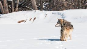 Серый волк (волчанка волка) стоит в идя снег смотреть налево Стоковая Фотография