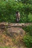 Серый волк (волчанка волка) стоит на журнале Стоковое Изображение