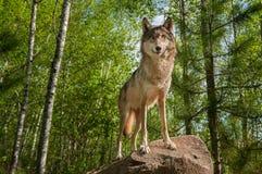 Серый волк (волчанка волка) стоит на утесе смотря вперед Стоковая Фотография