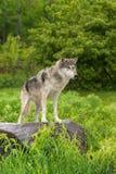Серый волк (волчанка волка) стоит на утесе смотря прав Стоковые Фото