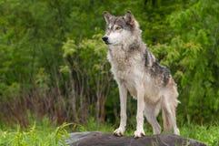Серый волк (волчанка волка) стоит на утесе Стоковое Изображение RF