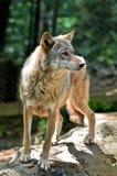 Серый волк - волчанка волка Стоковая Фотография RF